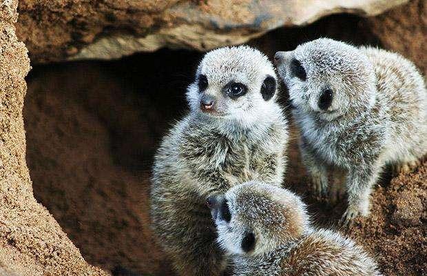 meerkats1462485i.jpg